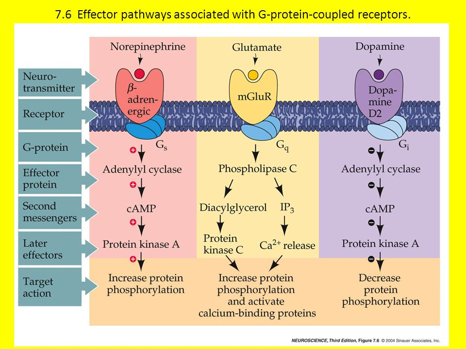 7.6 Effector pathways associated with G-protein-coupled receptors.