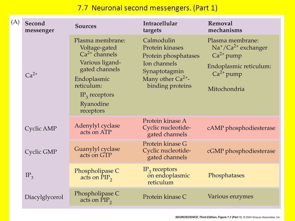 7.7 Neuronal second messengers. (Part 1)