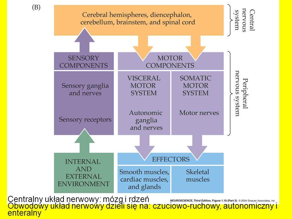 Centralny układ nerwowy: mózg i rdzeń