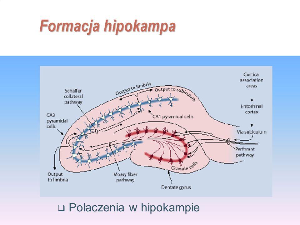 Formacja hipokampa Polaczenia w hipokampie