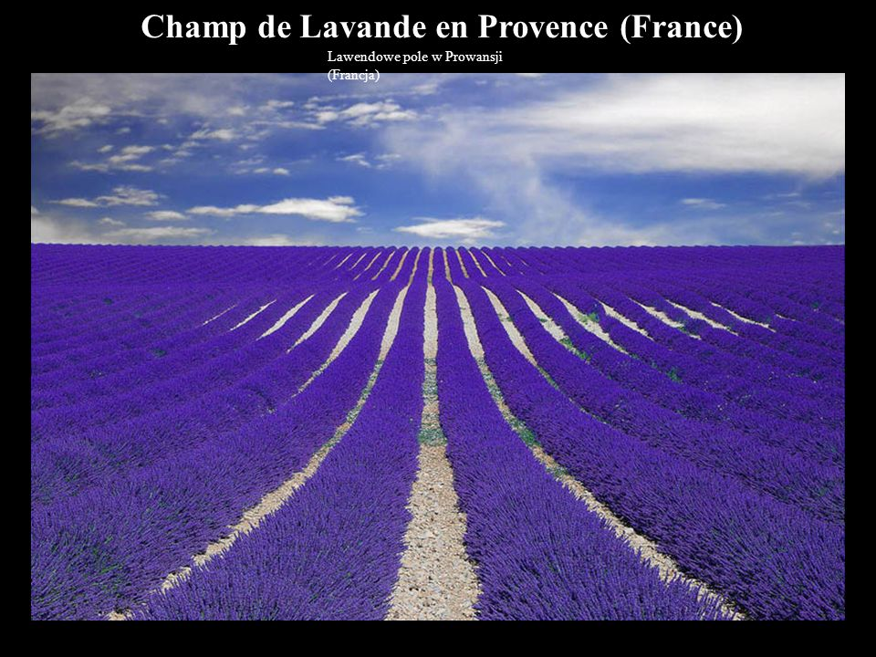Champ de Lavande en Provence (France)
