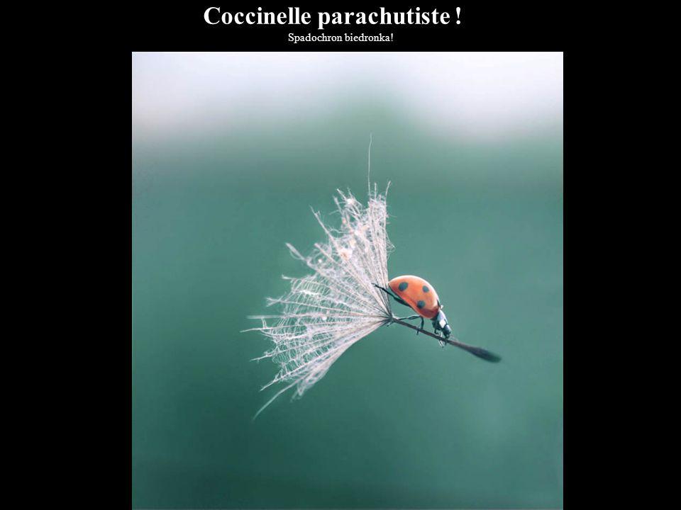 Coccinelle parachutiste !