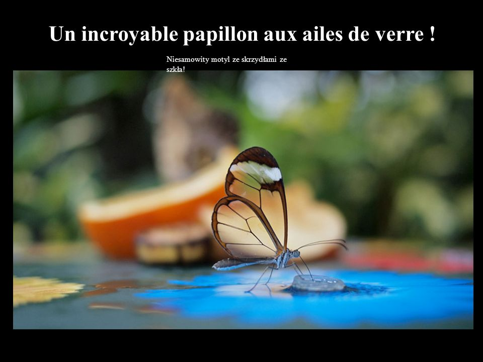 Un incroyable papillon aux ailes de verre !