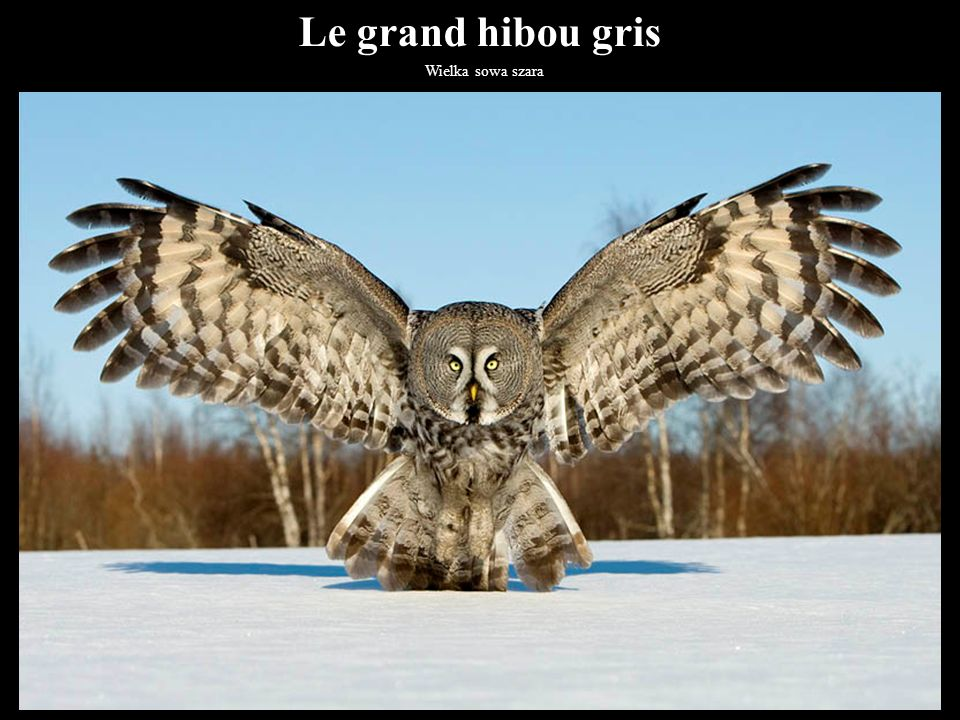 Le grand hibou gris Wielka sowa szara 38