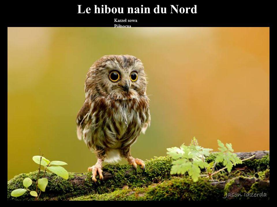 Le hibou nain du Nord Karzeł sowa Północna 40