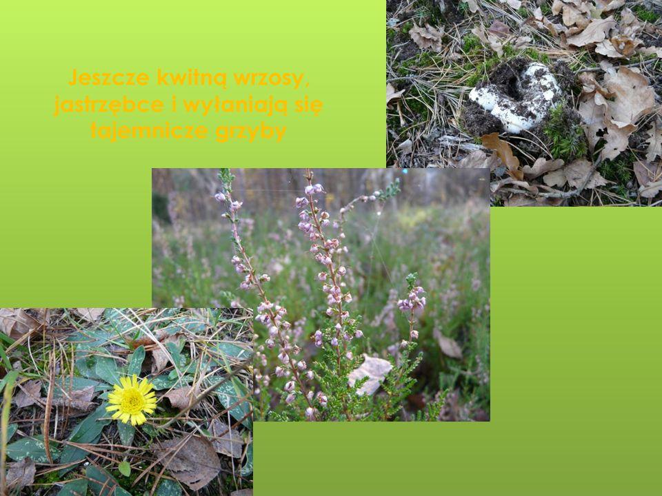 Jeszcze kwitną wrzosy, jastrzębce i wyłaniają się tajemnicze grzyby