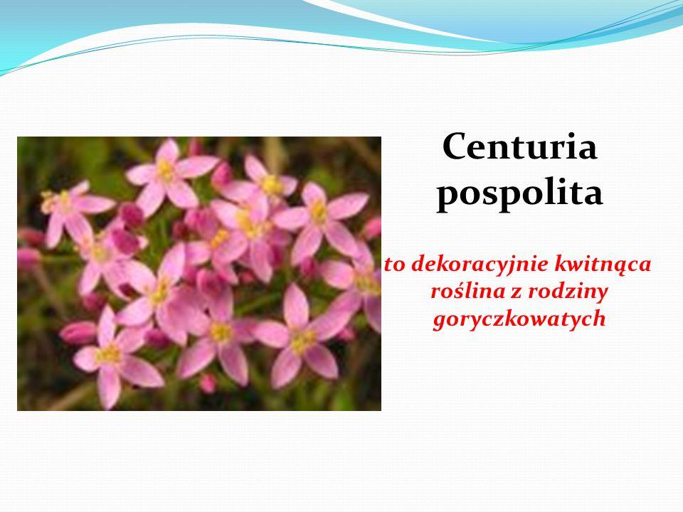 to dekoracyjnie kwitnąca roślina z rodziny goryczkowatych