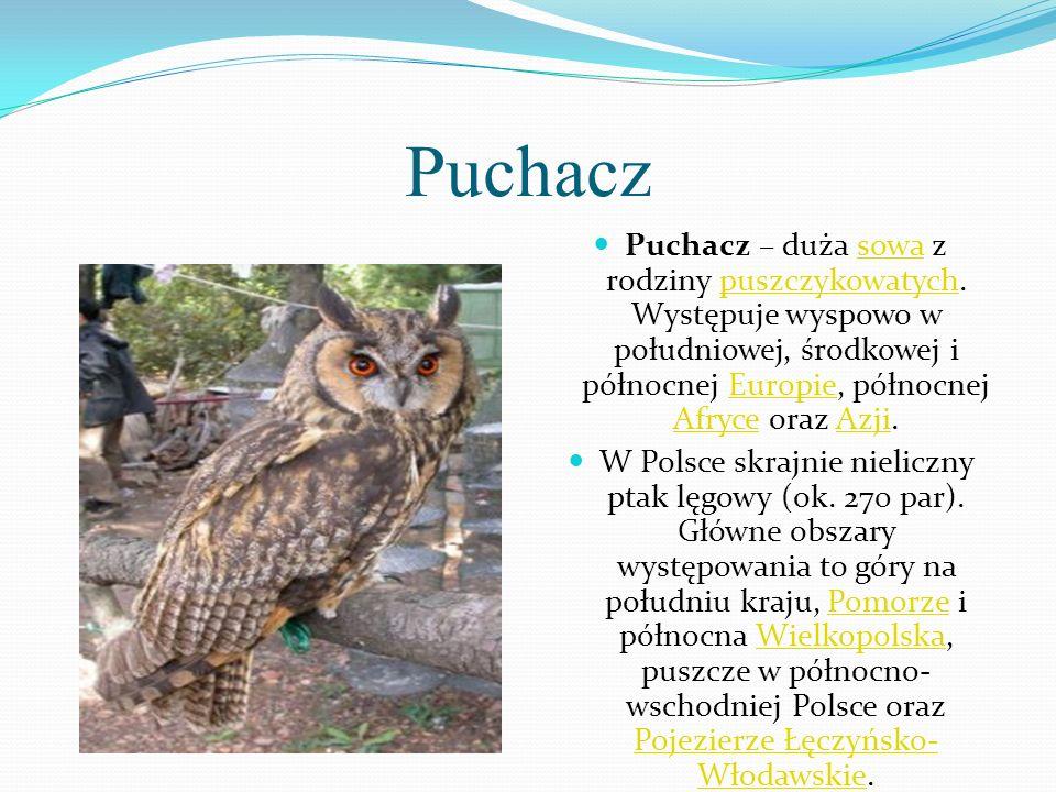 Puchacz Puchacz – duża sowa z rodziny puszczykowatych. Występuje wyspowo w południowej, środkowej i północnej Europie, północnej Afryce oraz Azji.
