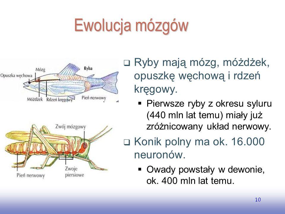 EE141 Ewolucja mózgów. Ryby mają mózg, móżdżek, opuszkę węchową i rdzeń kręgowy.