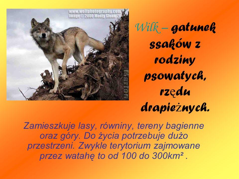 Wilk – gatunek ssaków z rodziny psowatych, rzędu drapieżnych.