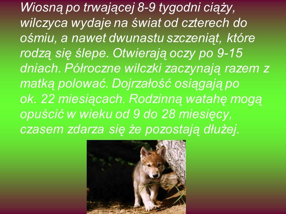 Wiosną po trwającej 8-9 tygodni ciąży, wilczyca wydaje na świat od czterech do ośmiu, a nawet dwunastu szczeniąt, które rodzą się ślepe.