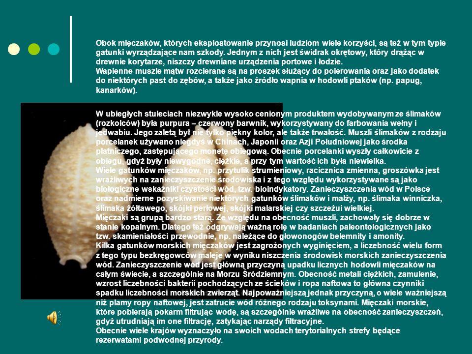 Obok mięczaków, których eksploatowanie przynosi ludziom wiele korzyści, są też w tym typie gatunki wyrządzające nam szkody. Jednym z nich jest świdrak okrętowy, który drążąc w drewnie korytarze, niszczy drewniane urządzenia portowe i łodzie. Wapienne muszle mątw rozcierane są na proszek służący do polerowania oraz jako dodatek do niektórych past do zębów, a także jako źródło wapnia w hodowli ptaków (np. papug, kanarków).