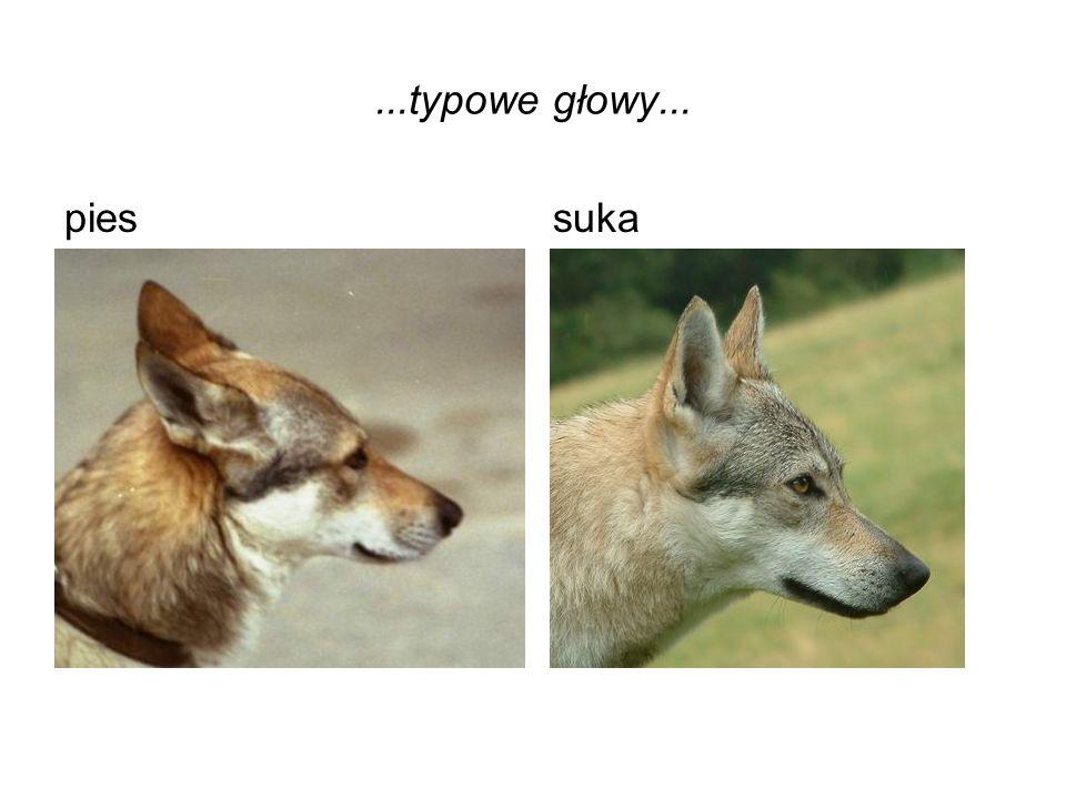 ...typowe głowy... pies suka