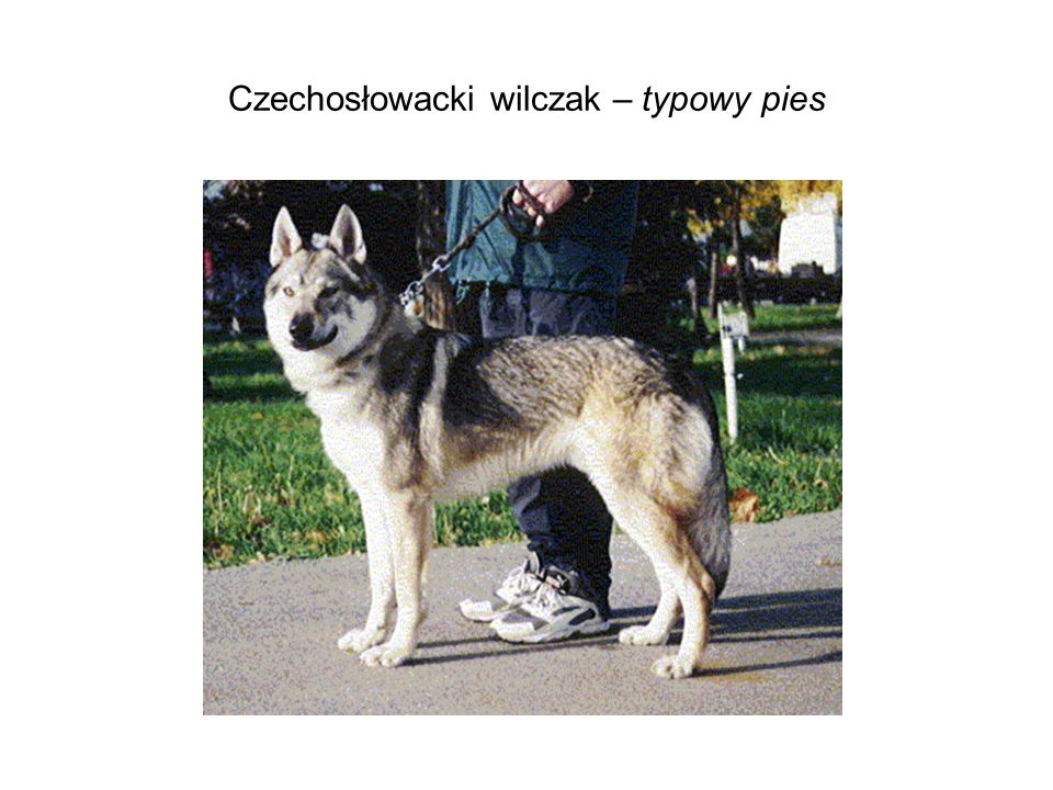 Czechosłowacki wilczak – typowy pies