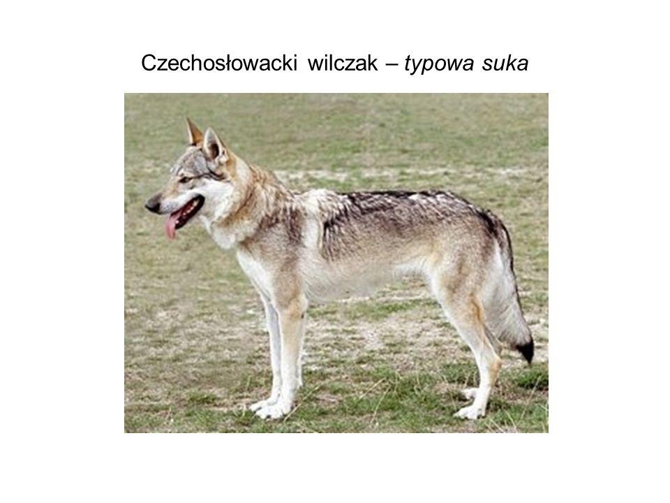 Czechosłowacki wilczak – typowa suka