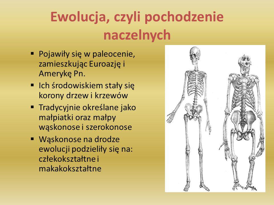 Ewolucja, czyli pochodzenie naczelnych