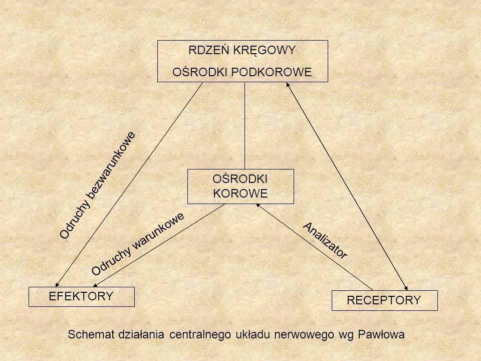 Schemat działania centralnego układu nerwowego wg Pawłowa