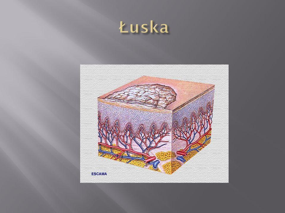 Łuska