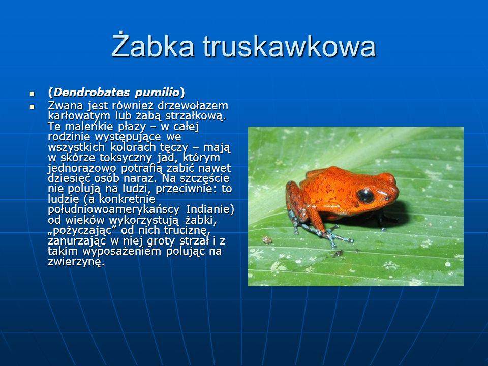 Żabka truskawkowa (Dendrobates pumilio)