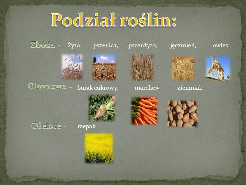 Podział roślin: Zboża - Okopowe - Oleiste -