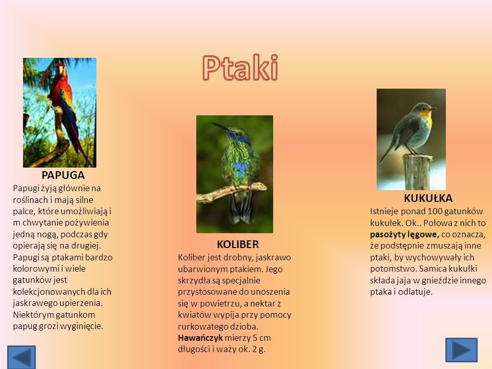 Ptaki PAPUGA KUKUŁKA KOLIBER