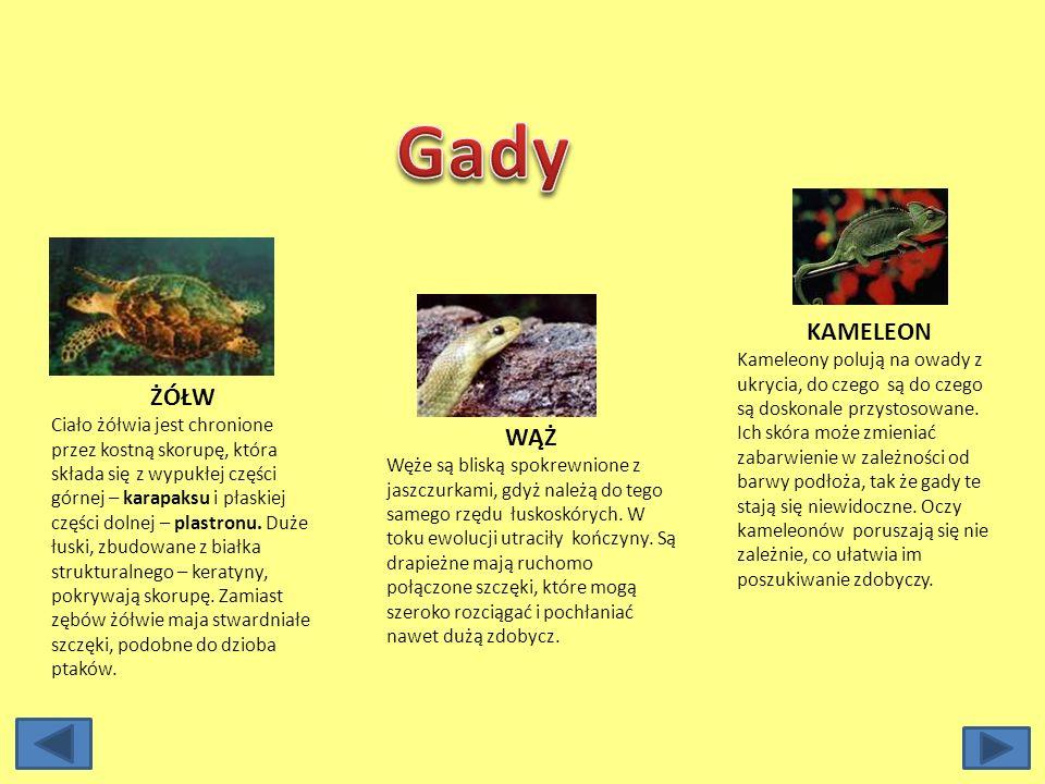 Gady KAMELEON.