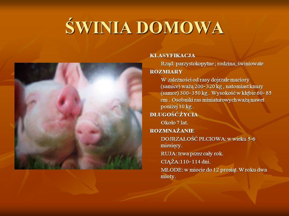 ŚWINIA DOMOWA KLASYFIKACJA Rząd: parzystokopytne ; rodzina; świniowate