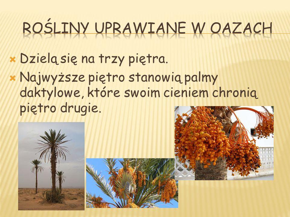 Rośliny uprawiane w oazach