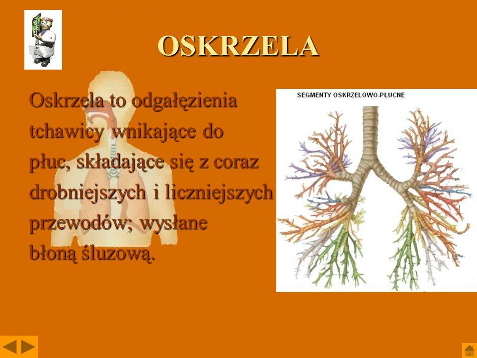OSKRZELA Oskrzela to odgałęzienia tchawicy wnikające do