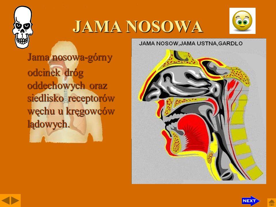JAMA NOSOWA Jama nosowa-górny