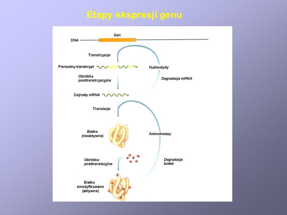 Etapy ekspresji genu