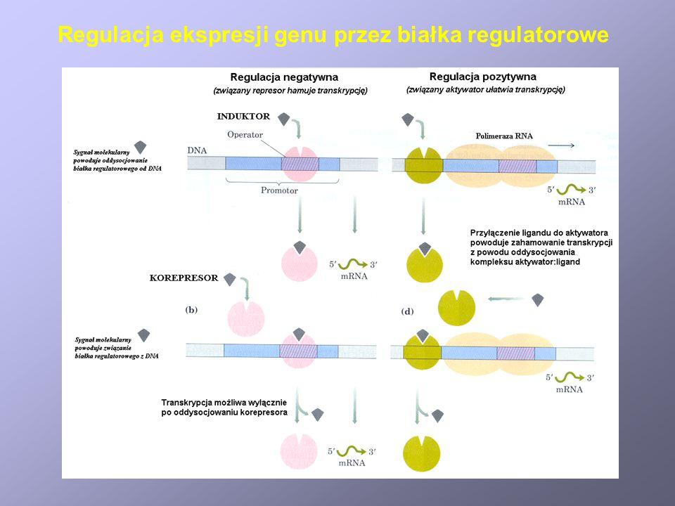 Regulacja ekspresji genu przez białka regulatorowe