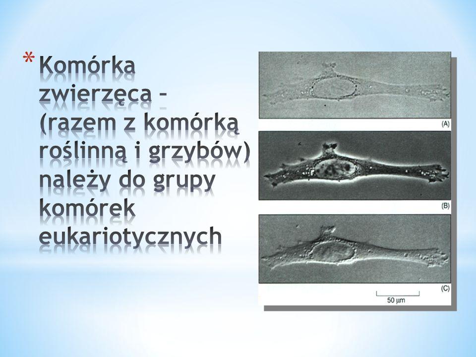 Komórka zwierzęca – (razem z komórką roślinną i grzybów) należy do grupy komórek eukariotycznych