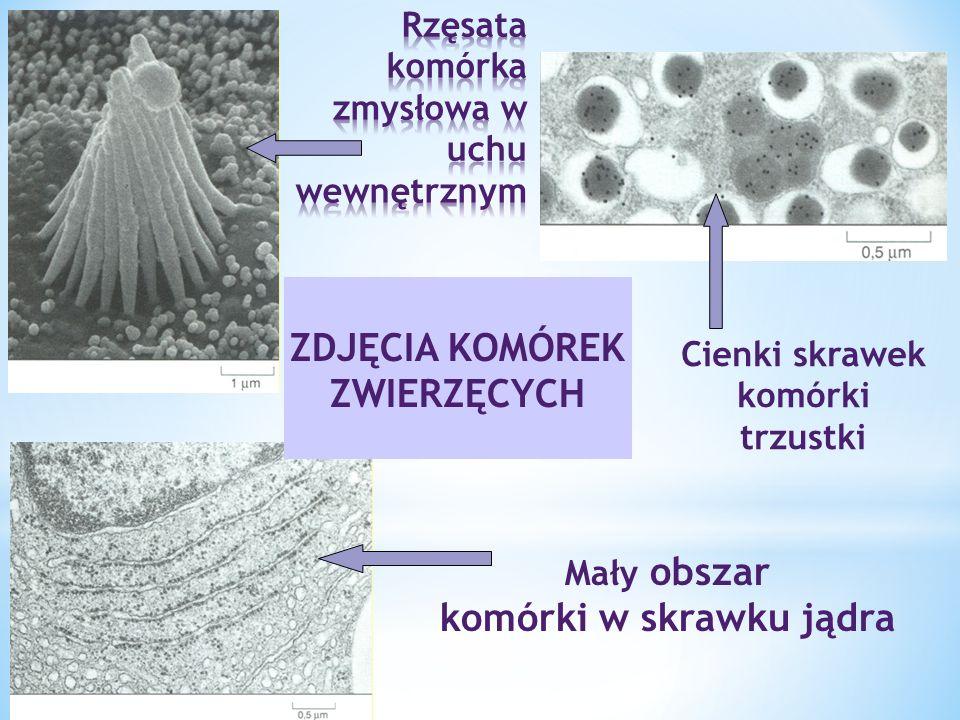 Rzęsata komórka zmysłowa w uchu wewnętrznym