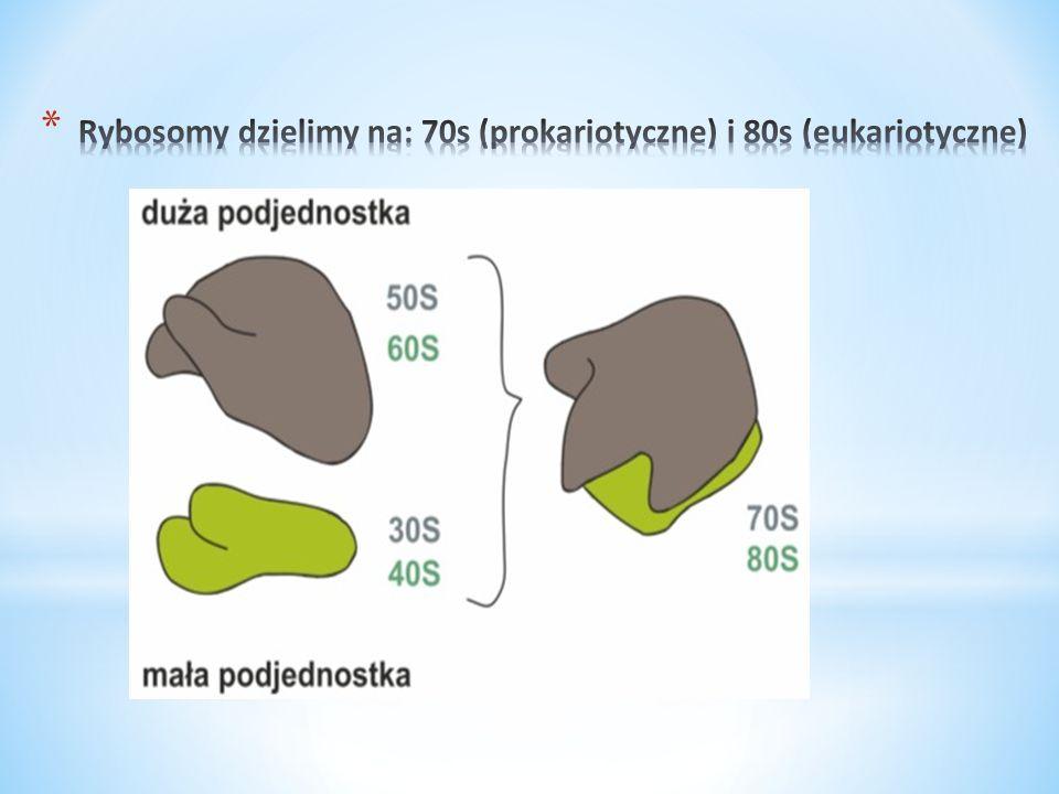Rybosomy dzielimy na: 70s (prokariotyczne) i 80s (eukariotyczne)