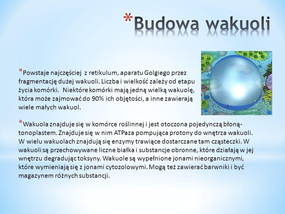 Budowa wakuoli Powstaje najczęściej z retikulum, aparatu Golgiego przez. fragmentację dużej wakuoli. Liczba i wielkość zależy od etapu.
