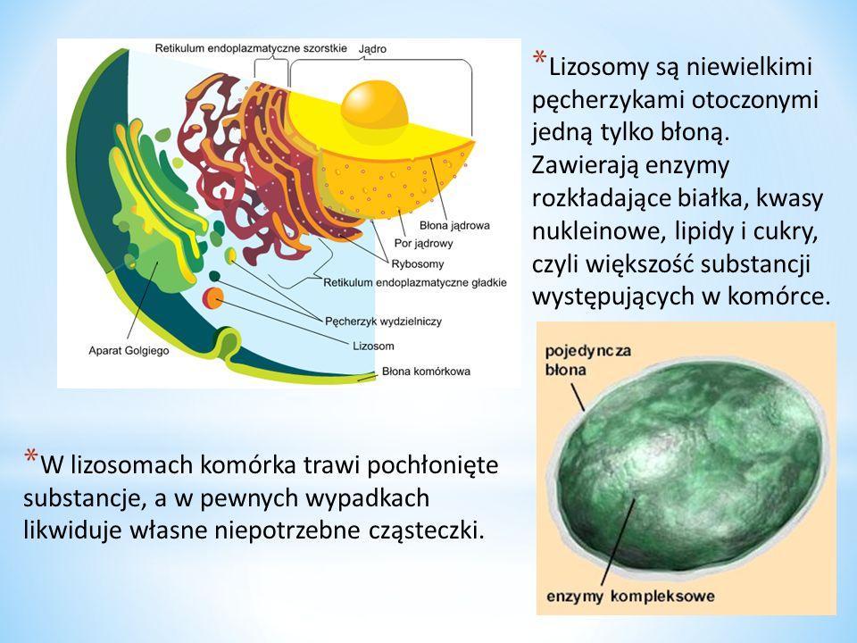 Lizosomy są niewielkimi pęcherzykami otoczonymi jedną tylko błoną