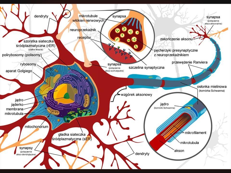 Wizja naukowa Podglądamy jak działa mózg! Neurony – procesory w mózgu
