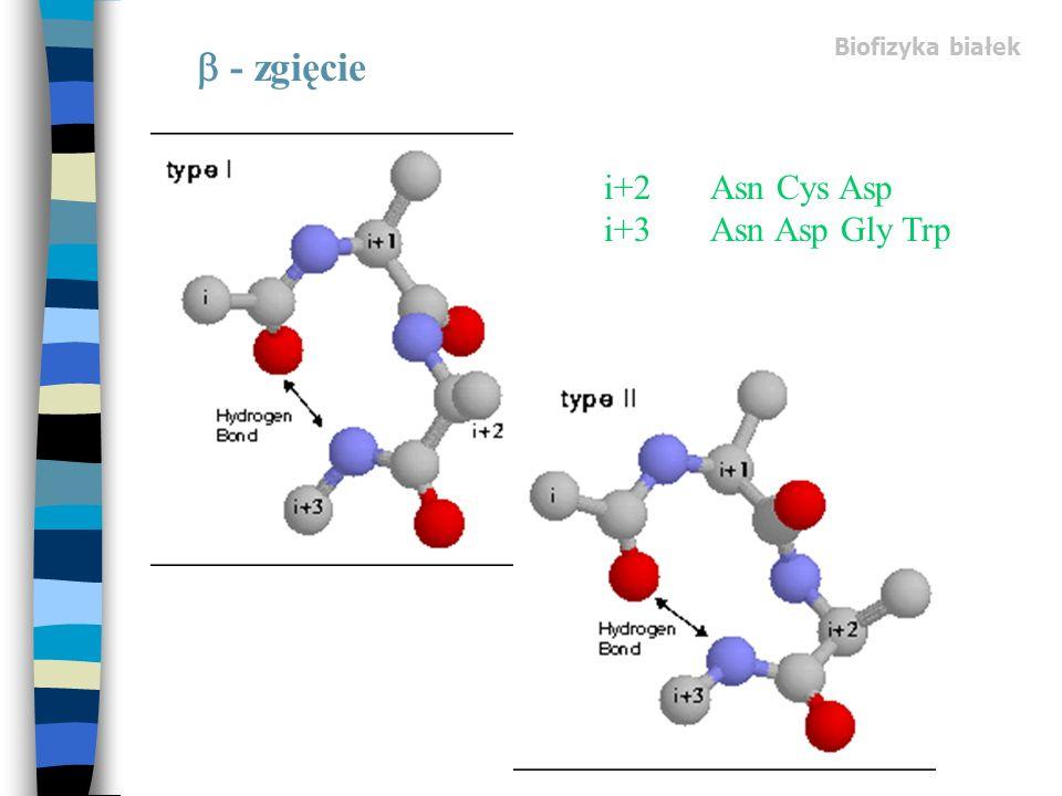 Biofizyka białek  - zgięcie i+2 Asn Cys Asp i+3 Asn Asp Gly Trp