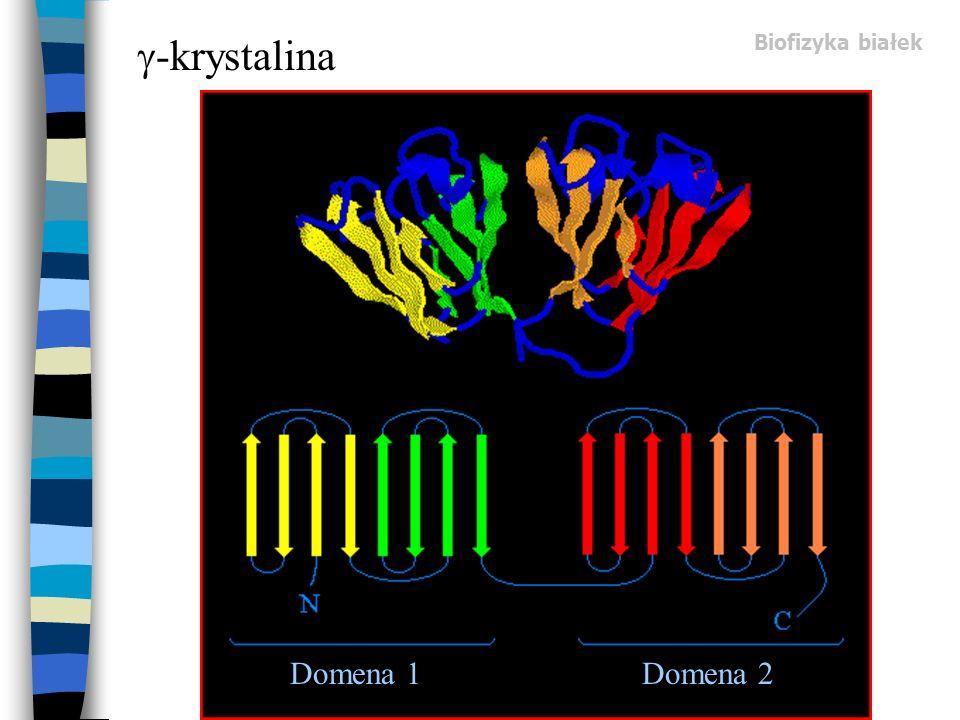 -krystalina Biofizyka białek Domena 1 Domena 2