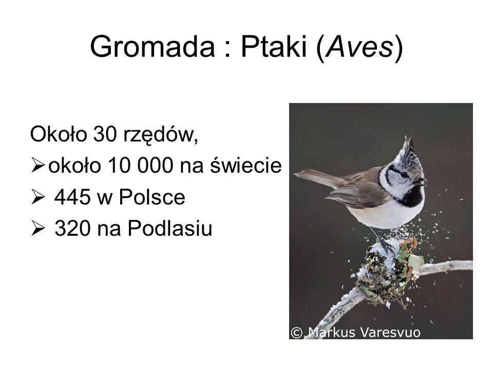 Gromada : Ptaki (Aves) Około 30 rzędów, około 10 000 na świecie