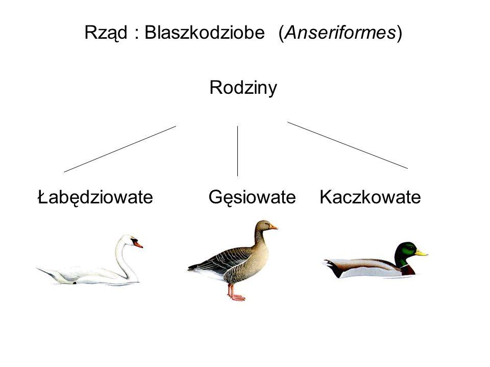 Rząd : Blaszkodziobe (Anseriformes)