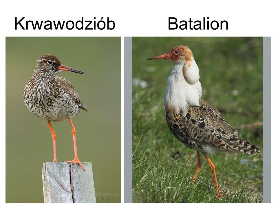 Krwawodziób Batalion