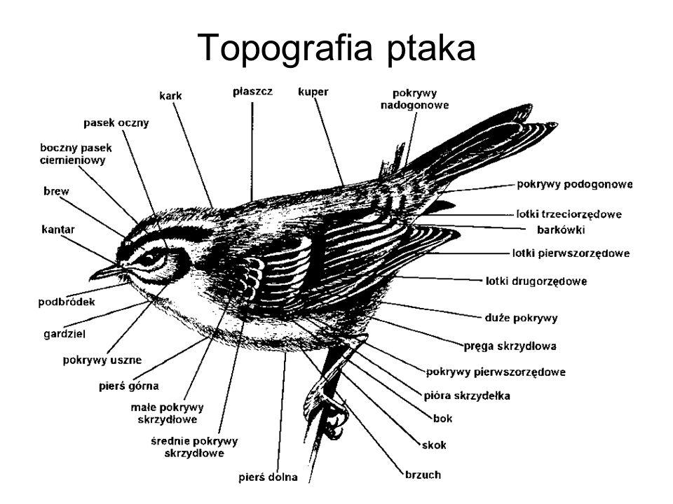 Topografia ptaka