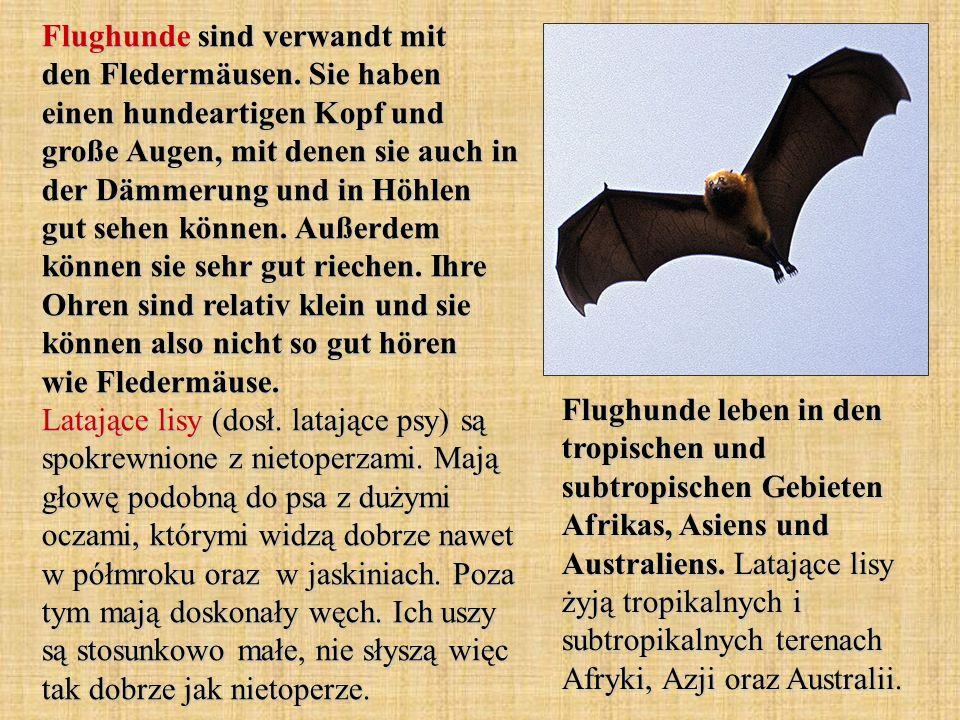 Flughunde sind verwandt mit den Fledermäusen