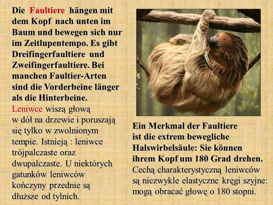 Die Faultiere hängen mit dem Kopf nach unten im Baum und bewegen sich nur im Zeitlupentempo. Es gibt Dreifingerfaultiere und Zweifingerfaultiere. Bei manchen Faultier-Arten sind die Vorderbeine länger als die Hinterbeine. Leniwce wiszą głową w dół na drzewie i poruszają się tylko w zwolnionym tempie. Istnieją : leniwce trójpalczaste oraz dwupalczaste. U niektórych gatunków leniwców kończyny przednie są dłuższe od tylnich.
