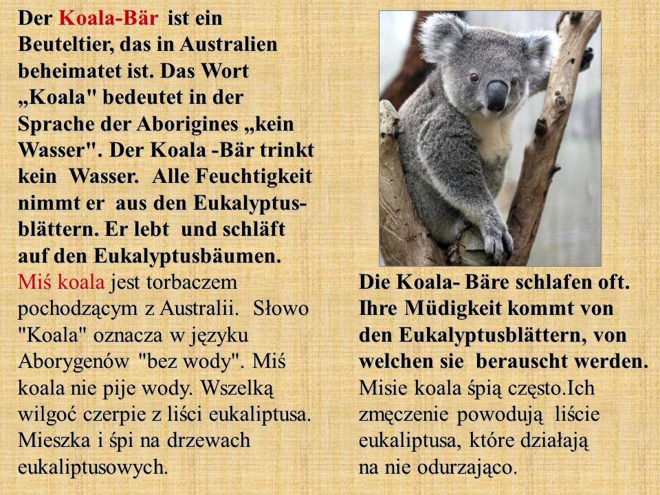 Der Koala-Bär ist ein Beuteltier, das in Australien beheimatet ist