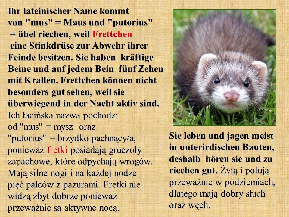 Ihr lateinischer Name kommt von mus = Maus und putorius = übel riechen, weil Frettchen eine Stinkdrüse zur Abwehr ihrer Feinde besitzen. Sie haben kräftige Beine und auf jedem Bein fünf Zehen mit Krallen. Frettchen können nicht besonders gut sehen, weil sie überwiegend in der Nacht aktiv sind. Ich łacińska nazwa pochodzi od mus = mysz oraz putorius = brzydko pachnący/a, ponieważ fretki posiadają gruczoły zapachowe, które odpychają wrogów. Mają silne nogi i na każdej nodze pięć palców z pazurami. Fretki nie widzą zbyt dobrze ponieważ przeważnie są aktywne nocą.