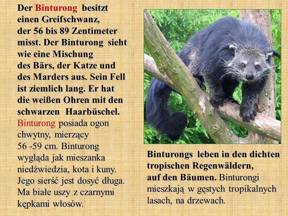 Der Binturong besitzt einen Greifschwanz, der 56 bis 89 Zentimeter misst. Der Binturong sieht wie eine Mischung des Bärs, der Katze und des Marders aus. Sein Fell ist ziemlich lang. Er hat die weißen Ohren mit den schwarzen Haarbüschel. Binturong posiada ogon chwytny, mierzący 56 -59 cm. Binturong wygląda jak mieszanka niedźwiedzia, kota i kuny. Jego sierść jest dosyć długa. Ma białe uszy z czarnymi kępkami włosów.
