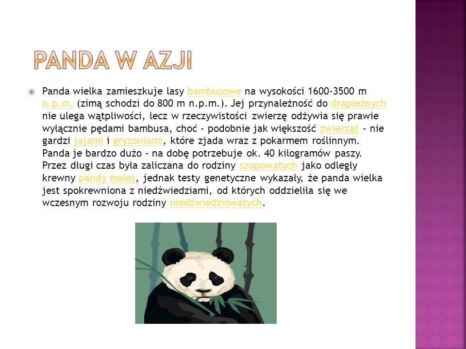 panda w azji
